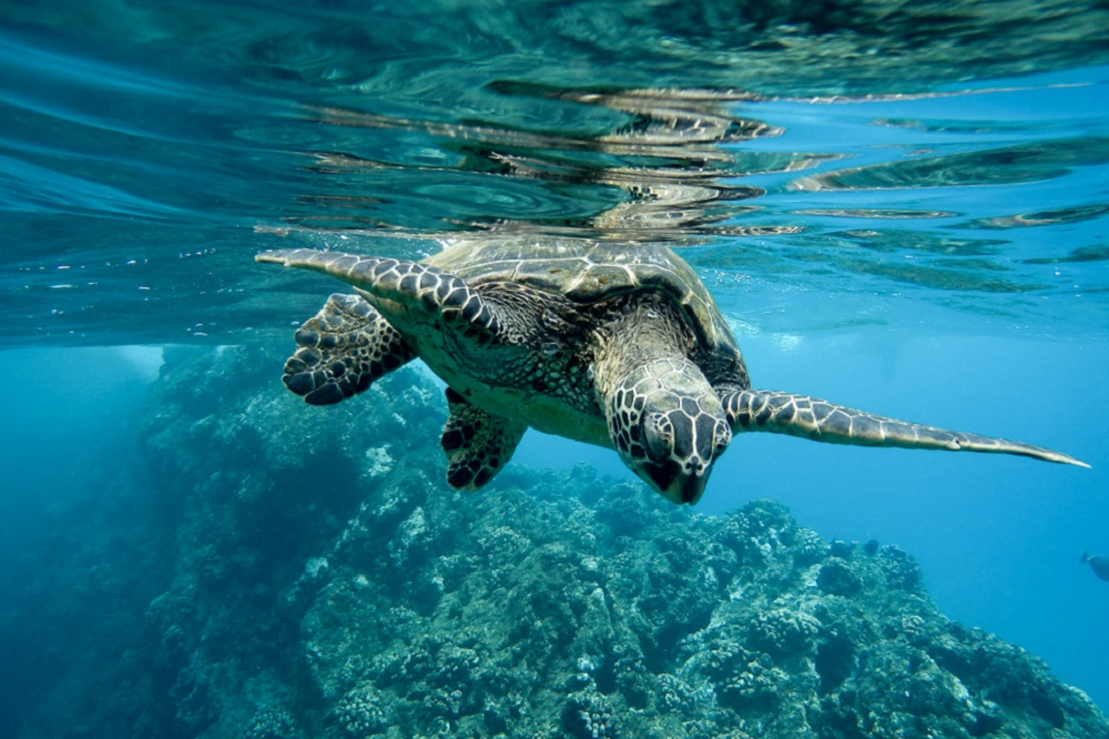 A closeup of a green sea turtle swimming underwater under the lights - cool for nature concepts